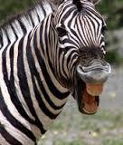 angry zebra